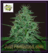 Cream of the Crop Auto Cropical Fruit Famale Marijuana Seeds